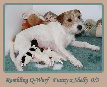 Parson Russell Terrier Rambling